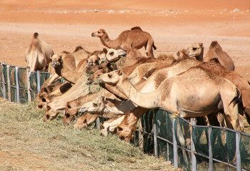 Camels feeding on grass in the desert in Al Ain.