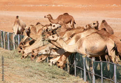 Fotobehang Kameel Camels feeding on grass in the desert in Al Ain.