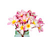 Pink Plumeria,isolated