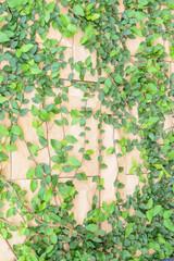 Brick wall and ivy texture