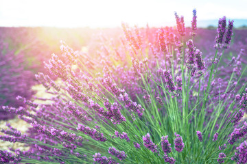 Lavender bush in the sun in Provence, France