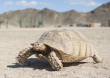Large tortoise walking in the desert