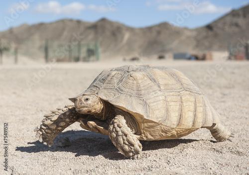 Foto op Aluminium Egypte Large tortoise walking in the desert