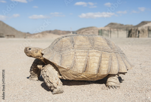 Staande foto Schildpad Large tortoise walking in the desert