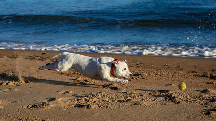 Dog chasing ball on beach