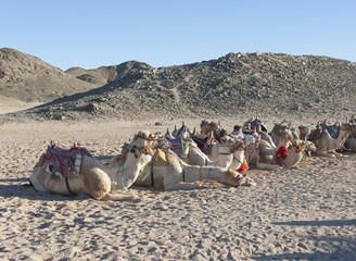 Herd of dromedary camels in the desert