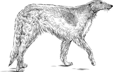 sketch of a greyhound