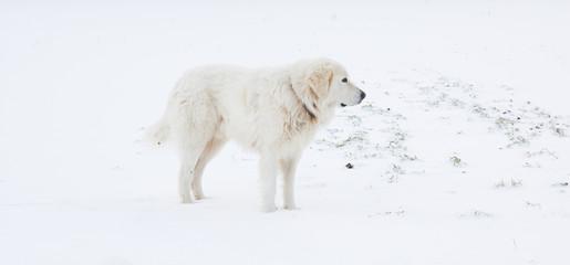 Pastore  maremmano sulla neve