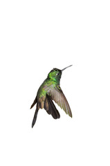 Male Cuban emerald hummingbird (Chlorostilbon ricordii) hovering