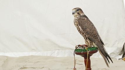 Saker falcon on perch copy space on left