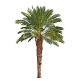 Palm tree isolated on white background. Canary date palm tree