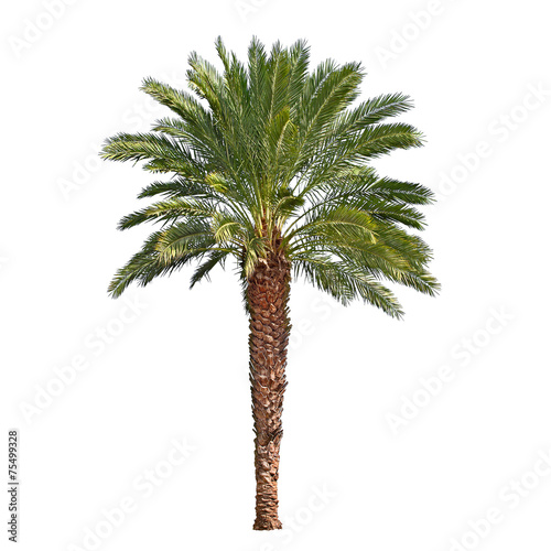 Deurstickers Palm boom Palm tree isolated on white background. Canary date palm tree