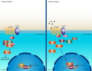 Wnt signalling pathway