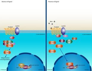 Wnt signalling pathway
