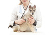 dog on examination by a veterinarian