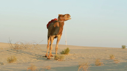 Single camel looking left and right