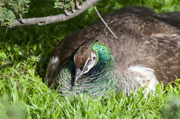 Female of Indian Peafowl sleeping on the grass