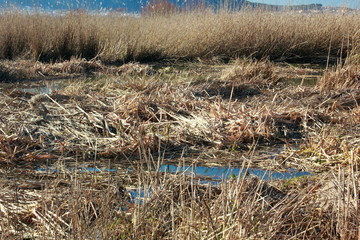 Wetland Reed Bed