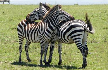 Zebra Freunde