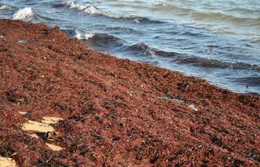 Algues envahissantes sur la plage