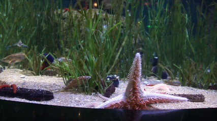 Big red starfish crawling on glass wall aquarium