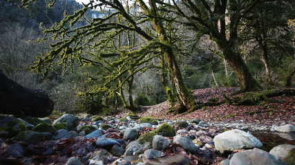 Magic Forest of Trees Covered With Moss in a Mountain Gorge