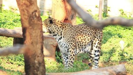 Leopard walk around.