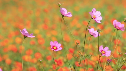 Orange and purple cosmos flowers swaying in the breeze.