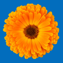 Calendula Officinalis on blue