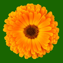 Calendula Officinalis on green