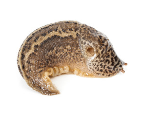Contracted Limax maximus - leopard slug