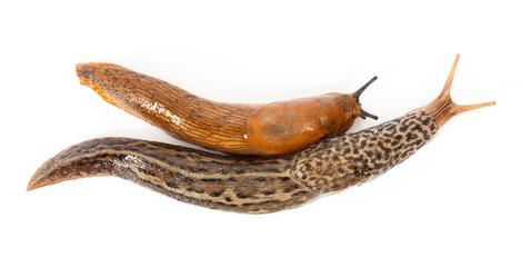 Great grey slug and Spanish slug