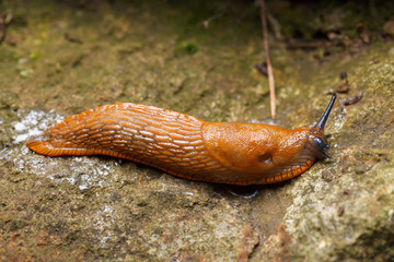 Spanish slug - Arion vulgaris