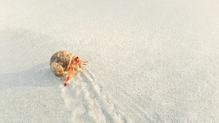 Hermit crab is walking on the beach