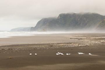 flock of terns resting on Karekare beach in New Zealand