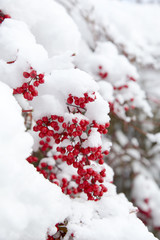 雪に埋もれる南天