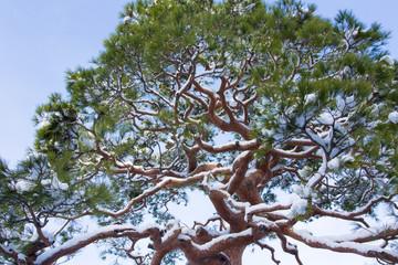 世界遺産京都天龍寺の黒松