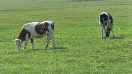 COWS grazes in a meadow