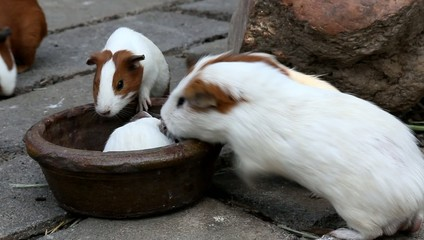 Group of guinea pigs