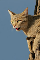 African wild cat in a tree, Kalahari desert