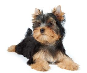 Beatiful small puppy