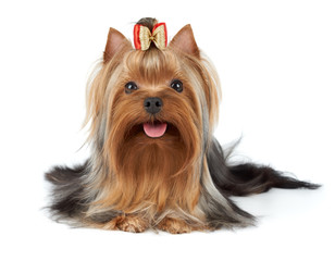 Beatiful dog with bow