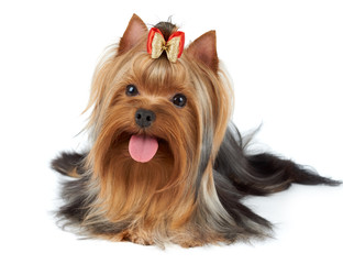 Yorkie stuck tongue out