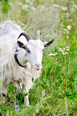 Goat white on grass
