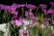 canvas print picture - Blütenporträt Nelken