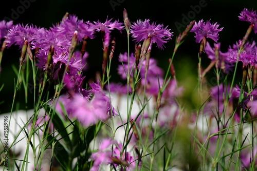 canvas print picture Blütenporträt Nelken