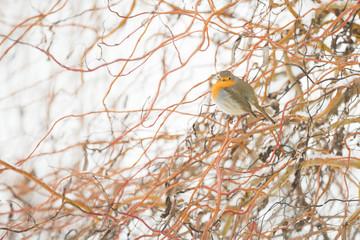 Oiseau Rouge-gorge dans les branches