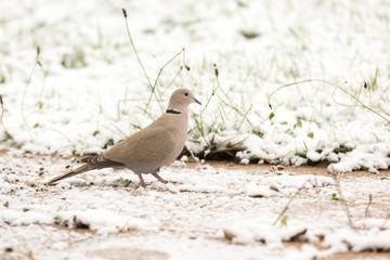 Oiseau Tourterelle dans la neige