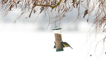 Oiseau mésange à la mangeoire