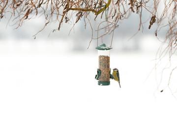 Oiseau mésange bleue à la mangeoire en hiver